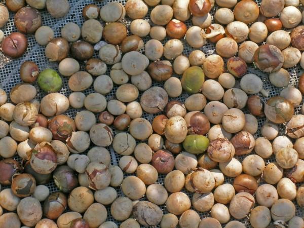 maya nuts