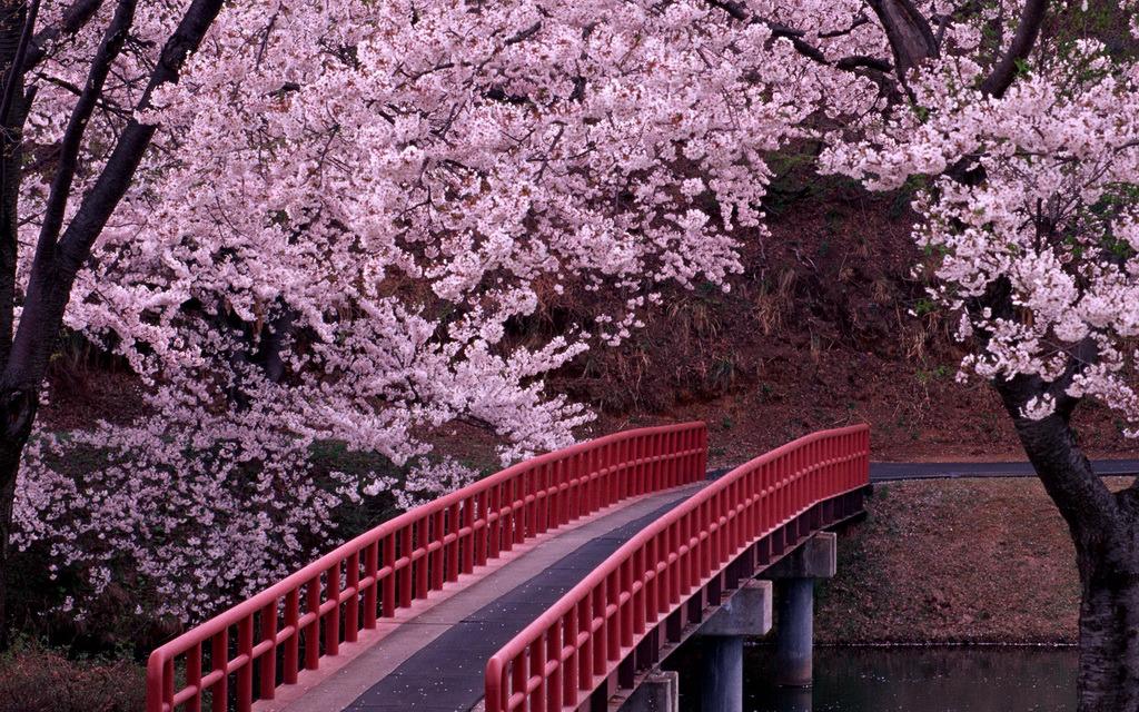 Cherry Blossom Festival (Sakura Matsuri) – A Once in a Lifetime Experience